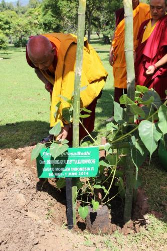 plant bodhi tree
